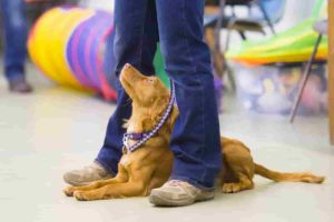 Dog at owners feet looking up during Puppy school classes